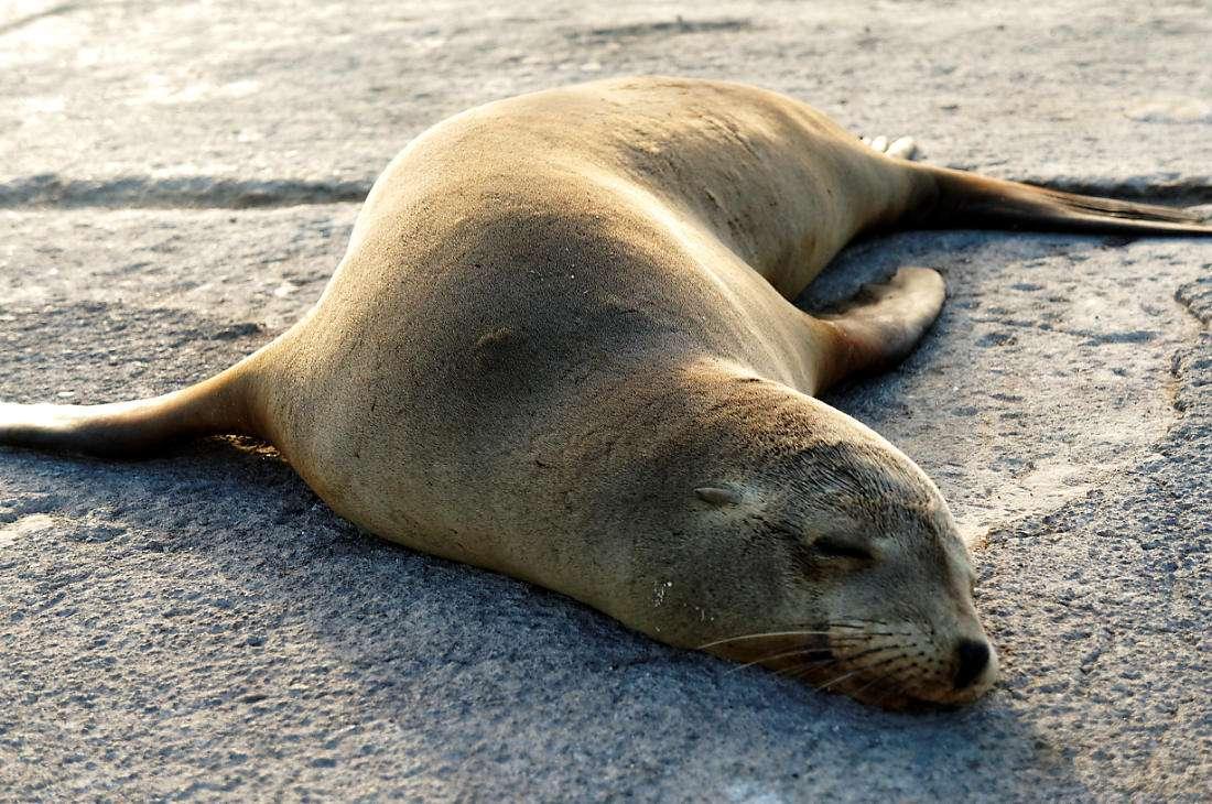 морской лев на пляже о.Сан Кристобаль, Галапагосы