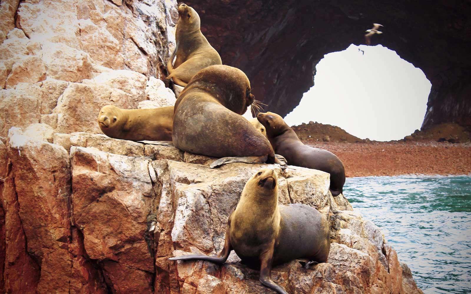 Морские львы на островах Байестас, Перу