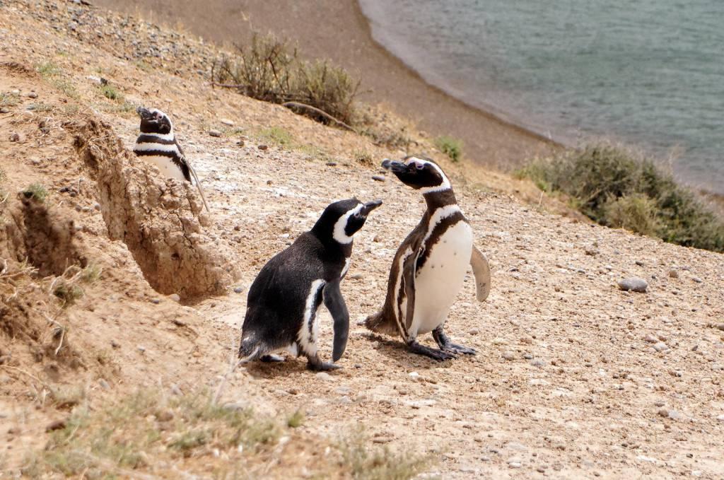 магеллановы пингвины в аргентине
