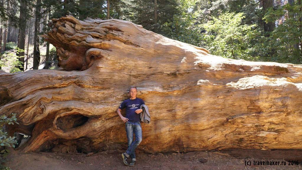 Гигантские секвойи Йосемити