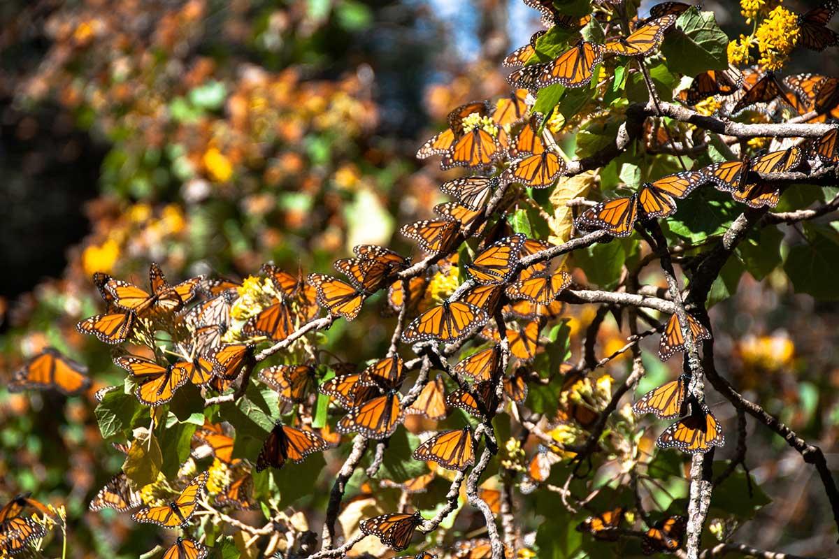 Заповедник бабочек монархов мексика тур
