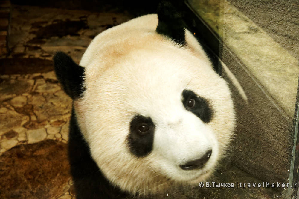 панда в ченду китай