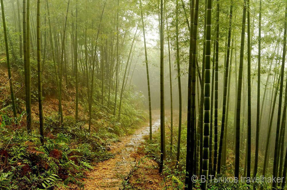 Бамбуковый лес в Чишуи Китай