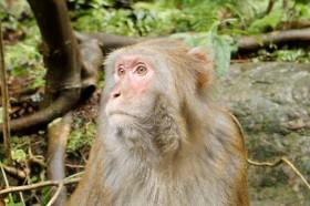 обезьяна в чжанцзяцзе