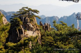 сосна в горах хуаншань китай
